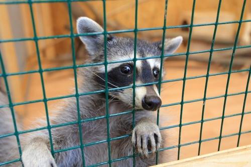 Штраф за показ. В Челябинске привлекли к ответственности директора контактного зоопарка