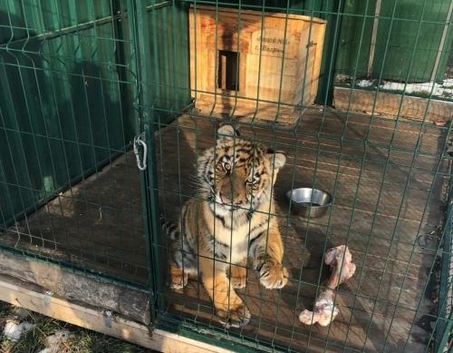 Тигрёнок остался калекой. Проступок пьяного мужчины и содержание животных в невыносимых условиях – звенья одной преступной сети